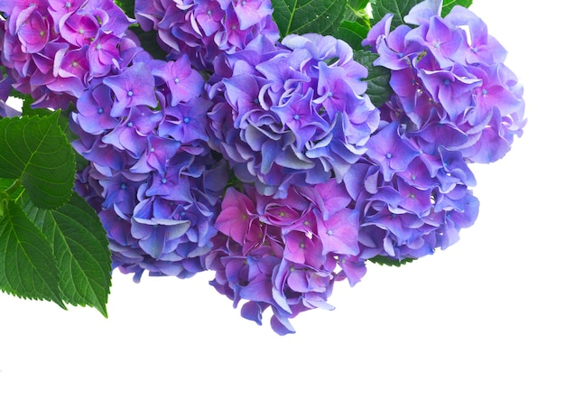 Blue and violet fresh hortensia fresh blooming flowers close up isolated on white background