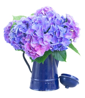Blue and violet hortensia flowers in blue pot isolated on white