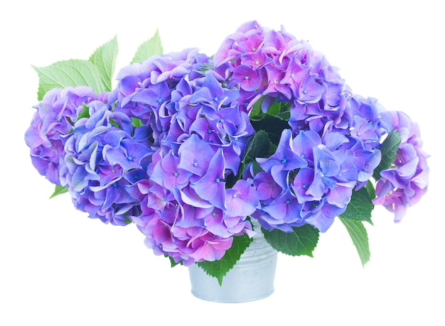 Blue and violet hortensia flowers close up isolated on white