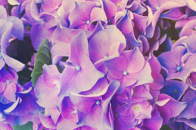 Blue and violet hortensia flowers close up