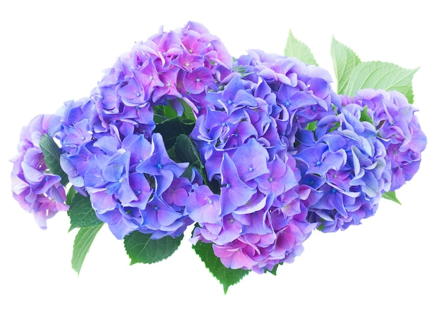 Blue and violet hortensia flowers isolated on white