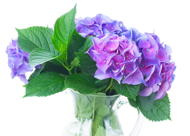 Blue and violet hortensia flowers and leaves in vase close up isolated on white