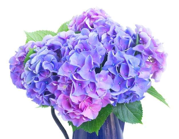 Blue and violet hortensia flowers in pot close up isolated on white