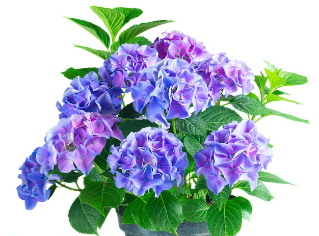 Blue and violet hortensia flowers with green leaves bush isolated on white background