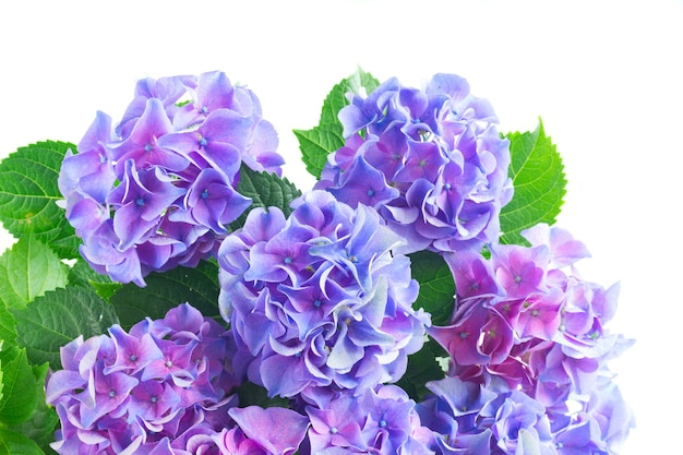 Blue and violet hortensia flowers with green leaves close up isolated on white background