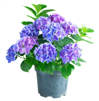 Blue and violet hortensia flowers with green leaves in pot isolated on white background