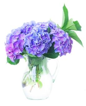 Blue and violet hortensia fresh flowersand green leaves in glass vase isolated on white