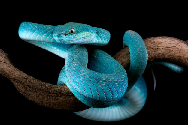 Blue viper snake on branch on black