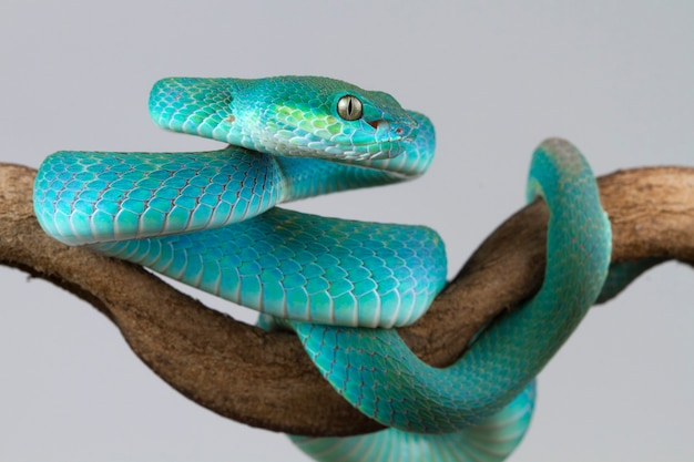 Blue viper snake on branch on white