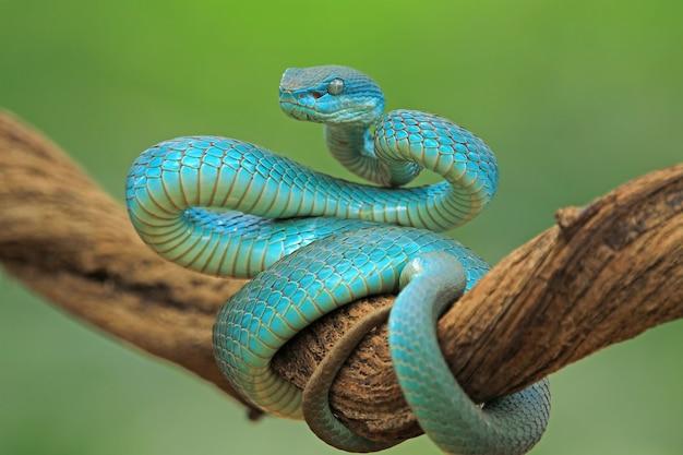 Blue viper snake on branch