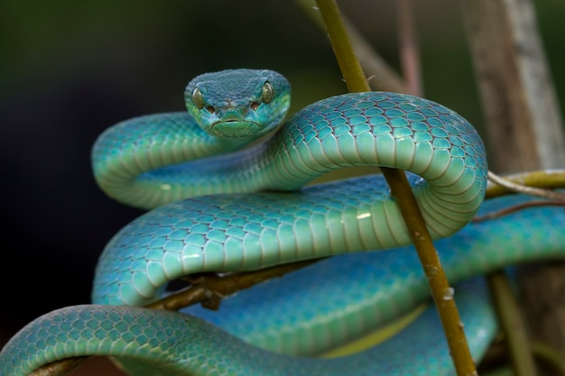 Blue viper snake closeup face on branch