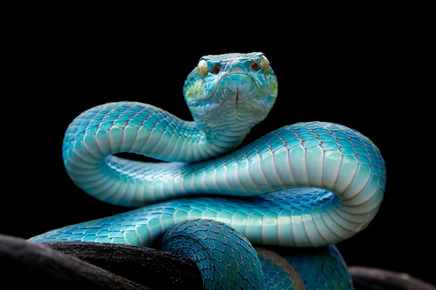 黒い背景、バイパーヘビの正面、インドネシアの青いバイパーヘビと青い毒蛇ヘビのクローズアップ顔
