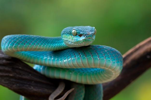 Синяя змея гадюка на ветке, змея гадюка готова к атаке, синий островок