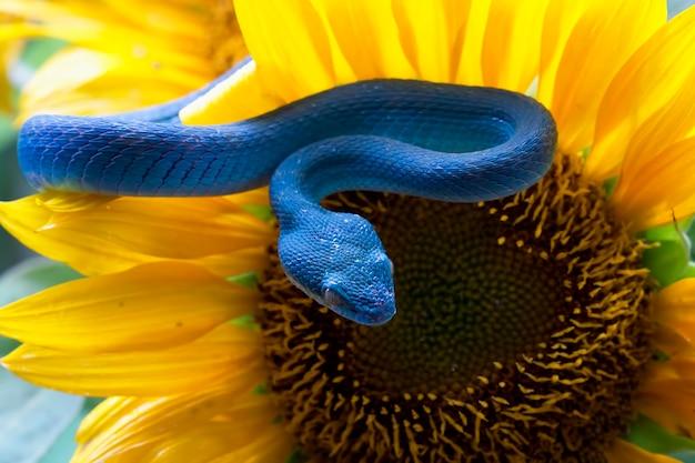 ひまわりの青い毒蛇ヘビ