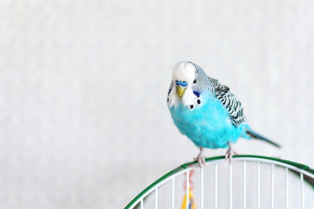 Blue wavy budgie sitting on the cage