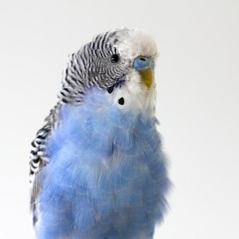Синий волнистый попугай сидит на клетке