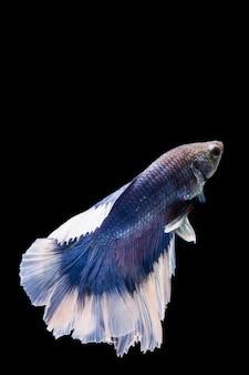 Blue and white betta fish, siamese fighting fish on black backgroundblue and white betta fish, siamese fighting fish on black background