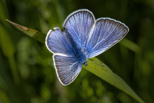 La farfalla blu e bianca si è appollaiata sulla foglia verde