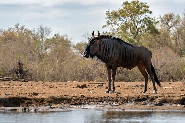 Голубая антилопа гну на берегу озера