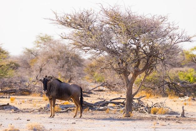 Blue wildebeest walking in the bush. wildlife safari in the etosha national park, famous travel destination in namibia, africa.