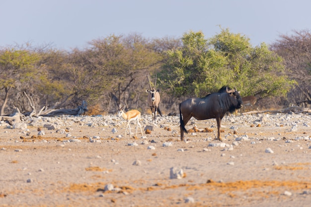 Blue wildebeest walking in the bush.