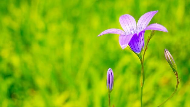 自然の中で青い野生の花ブルーベル