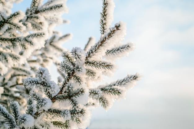 青い冬の背景。霜と雪の中の天然の針葉樹の枝。