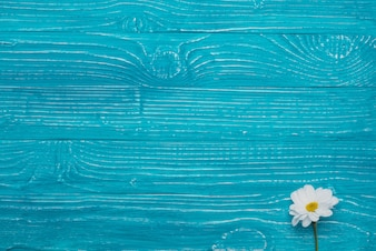 Blue wooden background with beautiful daisy