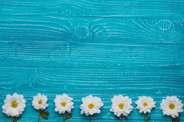 Blue wooden background with daisies in row