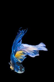 Blue and yellow betta fish, siamese fighting fish on black background