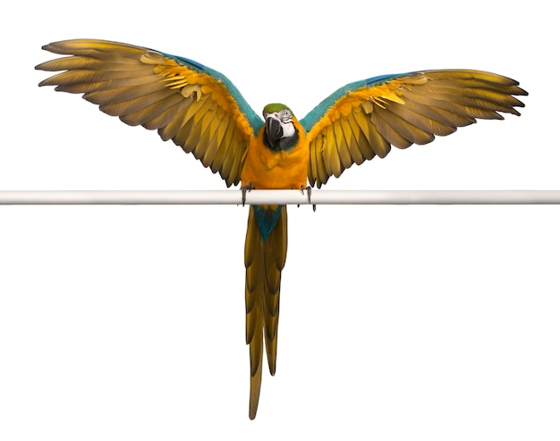 Blue and yellow macaw, ara ararauna, perched and flapping wings on white isolated