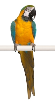 Blue and yellow macaw, ara ararauna, perched on pole on white isolated