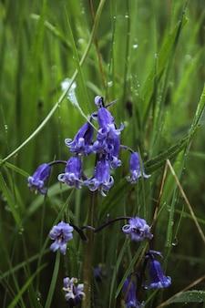 フィールドのブルーベルの花