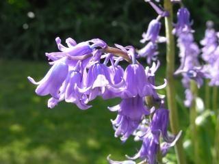 Bluebells, floral