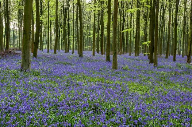 Wepham woods의 블루벨