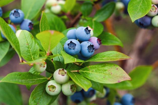 유기농 정원에서 자라는 익은 녹색 열매가 있는 블루베리 부시