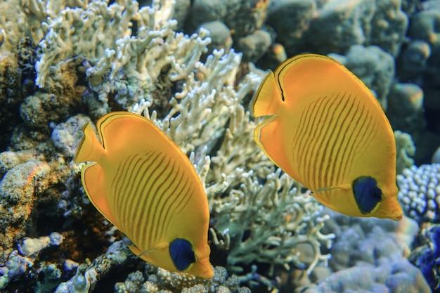 Голубичая рыба-бабочка chaetodon semilarvatus плавает на коралловом рифе