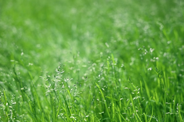 Мятлик луг зеленая трава в солнечный день, фон в выборочном фокусе