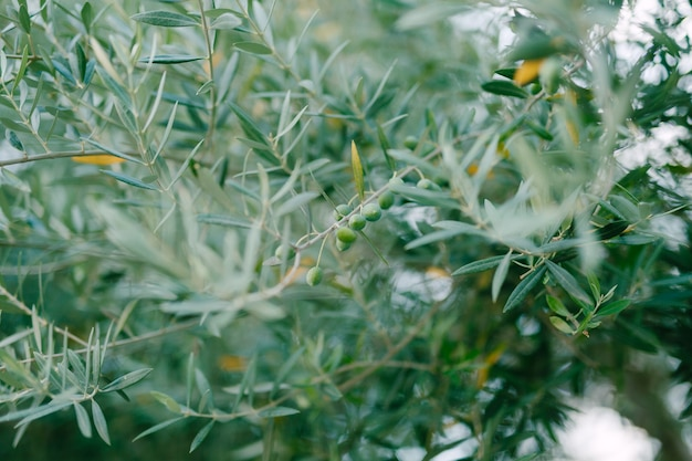 Сине-зеленые листья на ветвях оливкового дерева с ягодами