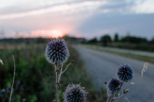 Голубоголовый цветок крупным планом на закате концепции диких растений и полевых цветов