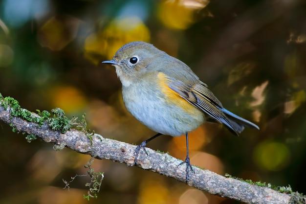 ヒマラヤbluetail tarsiger rufilatusタイの美しい女性の鳥