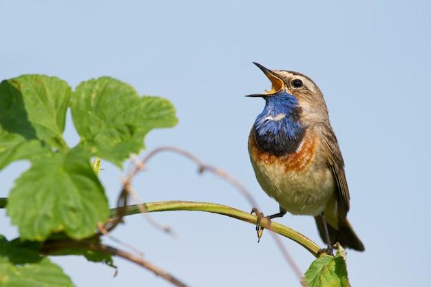 Bluethroat는 강 근처의 식물에 앉아 아침에 노래