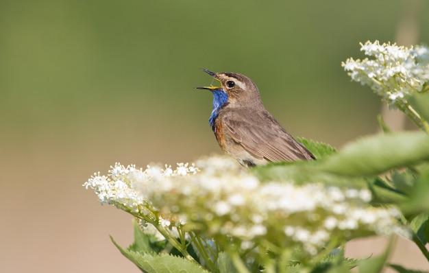 Bluethroat는 식물에 앉아 노래