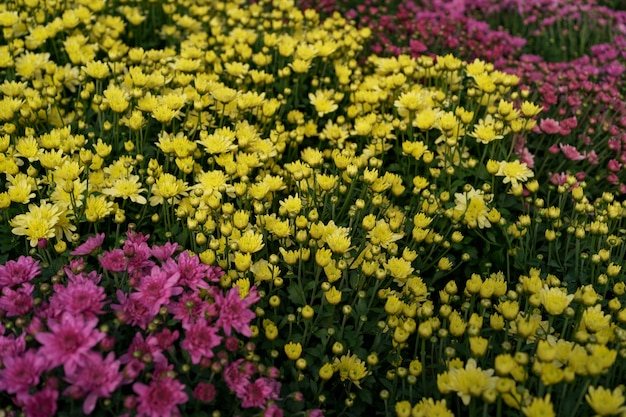 ブルーミング色とりどりの秋の菊の抽象的なテクスチャ