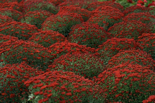 Bluming red fall chrysanthemum abstract texture