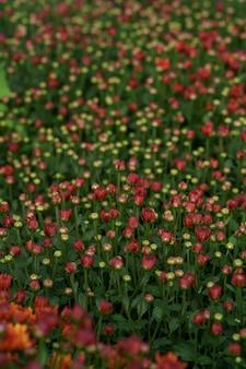 Struttura astratta del crisantemo rosso di caduta di bluming