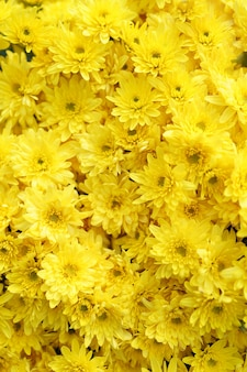 Bluming yellow fall chrysanthemum abstract texture