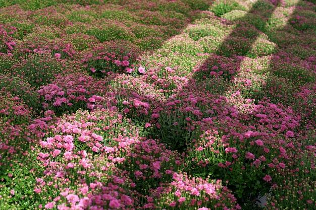 Blumming 분홍색 가을 국화와 태양 광선을 반사
