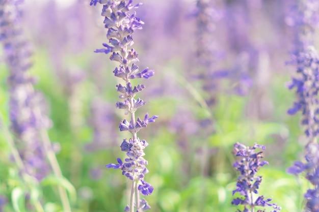 自然な背景を持つ美しいラベンダーの花をぼかします。