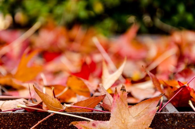 Blur red maple leaves and blur background